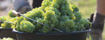 Chardonnay wijndruiven Vignoble Des Agaises