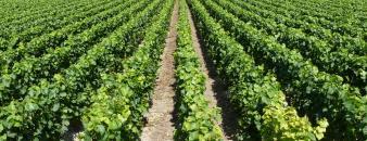 De wijngaard van Vignoble Des Agaises